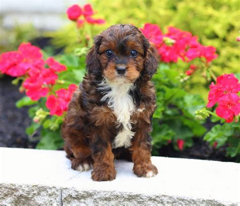 cavapoo puppies illinois beautiful cavapoo puppies craigspets