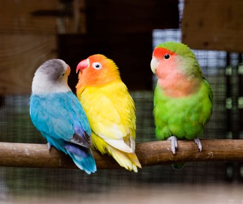 images of love birds ways to keep your pet birds warm in winter coops cages