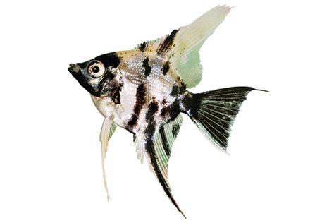 angelfish care sheet