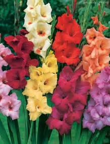 gladiolus flower information pictures flowers gallery