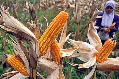 Bibit Jagung bibit jagung tak sesuai harapan petani wawo kecewa