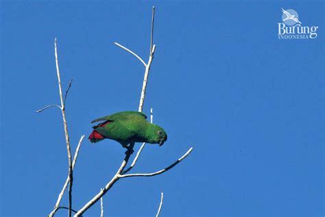 Teh Pucuk Ukuran Kecil inilah si hijau merah endemis pulau sangihe mongabay co id