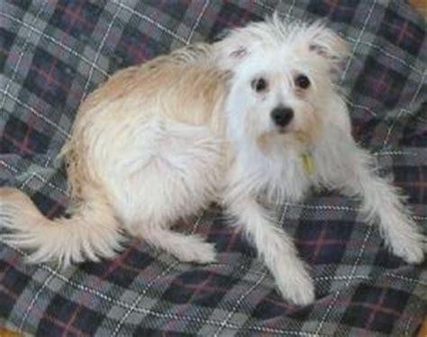 havanese breeders seattle havanese puppies is a havanese puppy for sale in seattle wa breeds picture