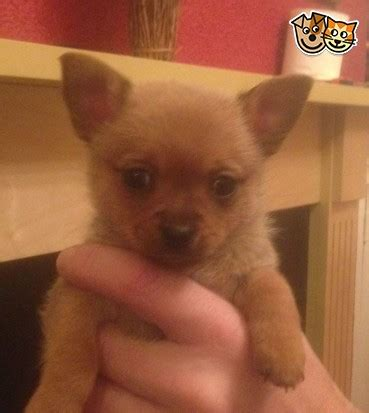 pomchi puppies for sale pomchi puppy for sale hyde greater manchester pets4homes