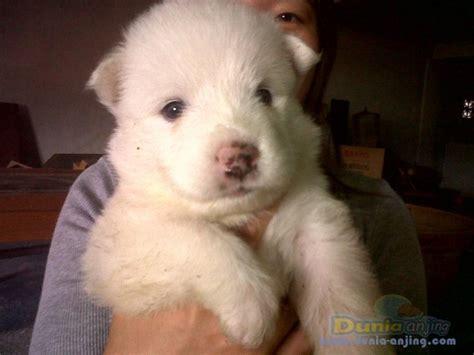 Anakan Anjing Samoyed dunia anjing jual anjing samoyed anakan samoyed