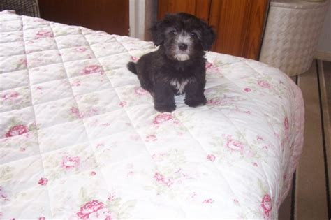 havanese puppies for sale in uk havanese puppies for sale ready now redcar pets4homes