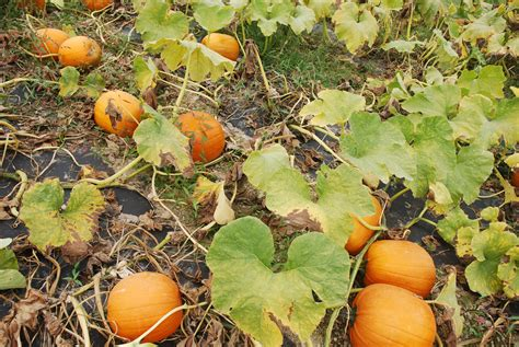 pumpkin patches file pumpkin patch at orchards jpg wikimedia commons