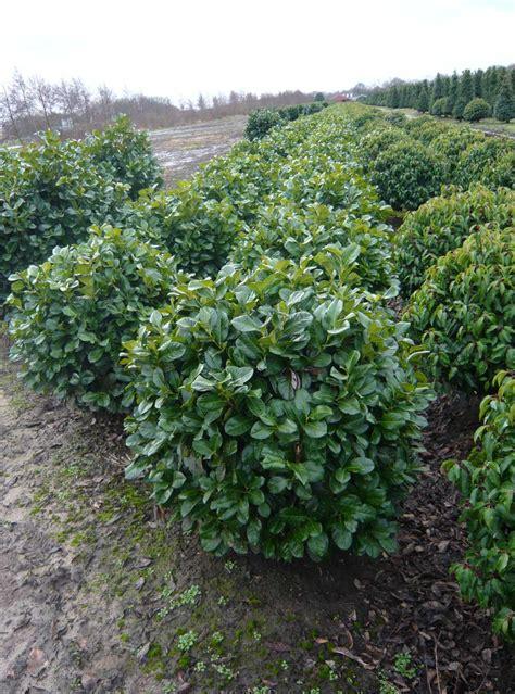 Kirschlorbeer Als Hecke 250 by Kirschlorbeer Etna Kirschlorbeer Prunus Immergr 252 Ne