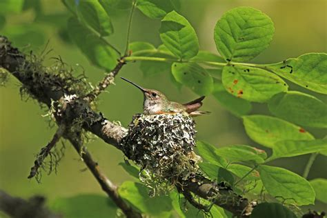 the female rufous hummingbird is a master nest builder