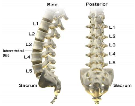 lumbar 4 and 5 diagram human anatomy diagram side posterior intervertebral disc