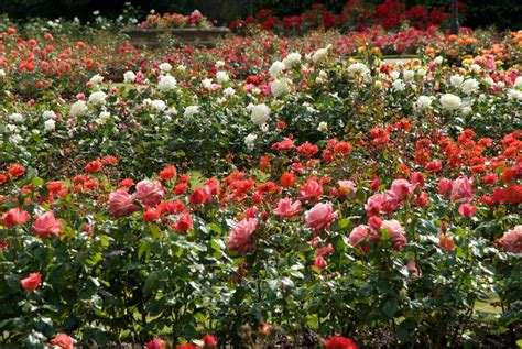 rose gardening the rose garden greenwich park the royal parks