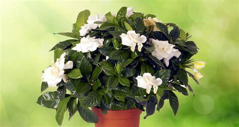 gardenia in vaso come curare e coltivare la gardenia