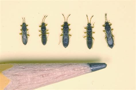 Small Biting Insects In Home Spartina Bug Common Now In East Insects In