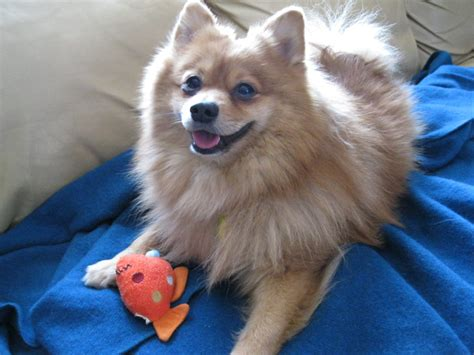 breeds similar to pomeranian pomeranian breed information all about dogs