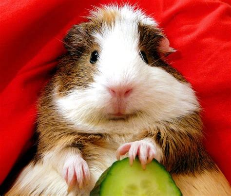 vitamin c vegetables for guinea pigs a comprehensive list of safe guinea pig foods find out