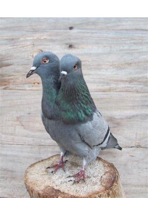 Pigeon 2 Pa de 290 b 228 sta pigeons bilderna p 229 f 229 glar stolar och k 228 ndisar
