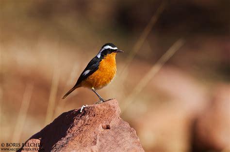 national bird of morocco juzaphoto