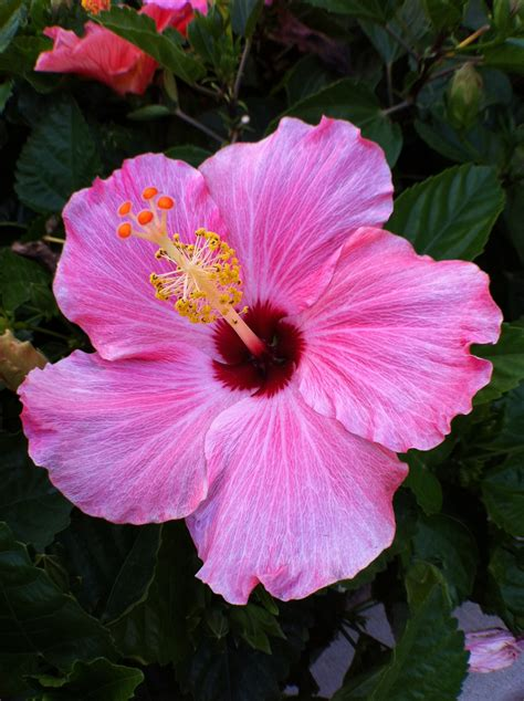 which state has a hibiscus hibiscus florida s second state flower orange blossom