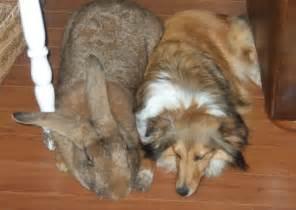 Chinchilla Hutch The Flemish Giant Rabbit Animals Library