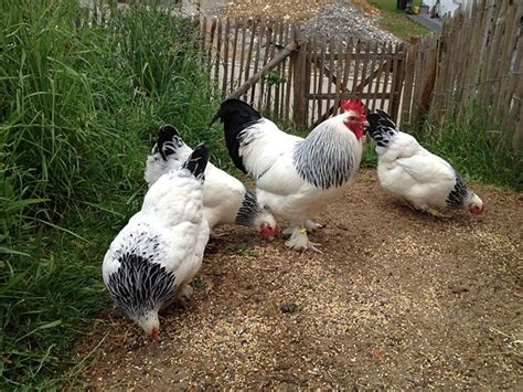 natur konkret newsletter - Hühner Außengehege