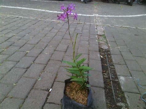 Lu Hias Bentuk Anggrek Ungu tanaman anggrek merpati ungu jual tanaman hias