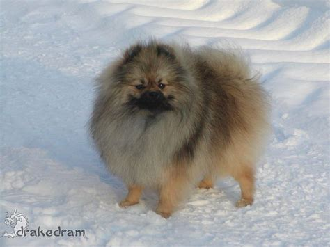 wolf colored pomeranian wolf colored pom rescue dogs
