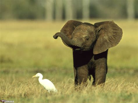 wallpaper elefante cute baby elephant wallpapers baby animals