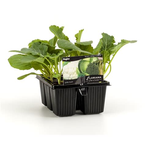 kale broccoli and cabbage replace traditional flowers as bunnings floriana floriana fusion 6 cell range punnet