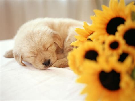 puppy wallpaper so cute puppies wallpaper 14749024 fanpop