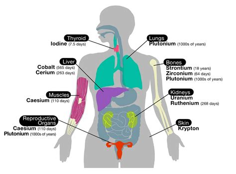 diagram of organs human diagrams diagram site