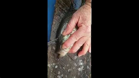 how to fillet a crappie how to fillet crappie easily quickly