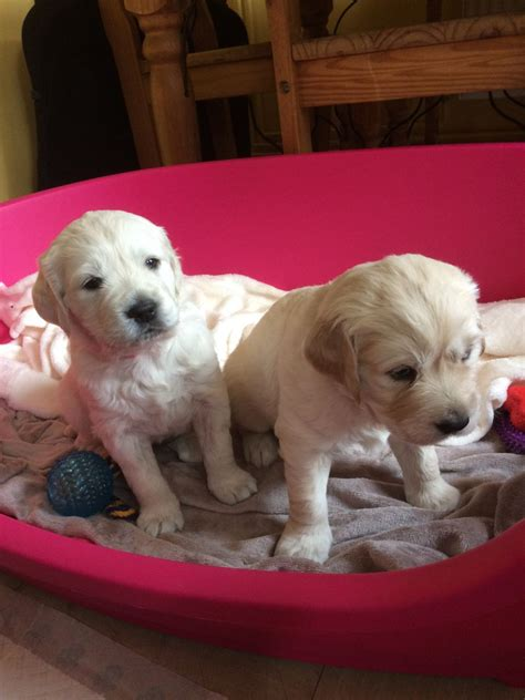 1 year golden retriever for sale beautiful kc reg golden retriever puppies for sale worcester worcestershire