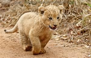 Cute baby lion cubs cute vs cute part 1 kurt jay bertels blog