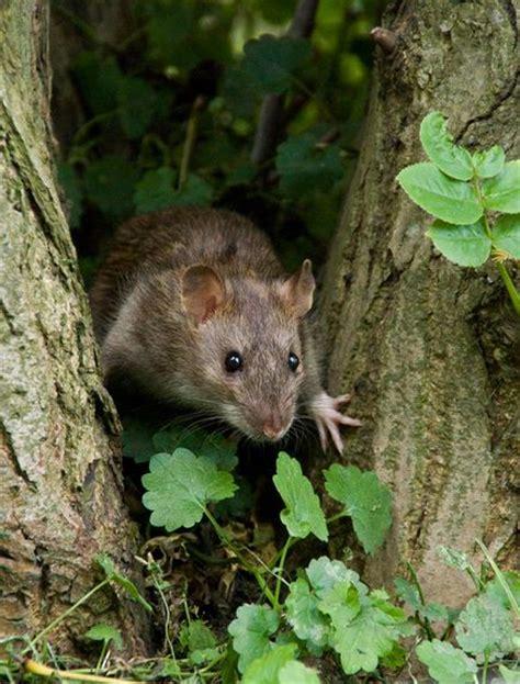 topi in giardino l invasione dei topi vichinghi national geographic