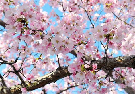 cherry blossoms cherry blossoms could be seriously damaged by upcoming