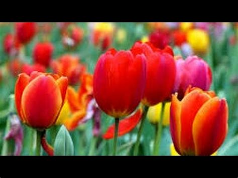 Come Piantare I Bulbi Di Tulipano by Coltivazione Dei Bulbi Di Tulipani Doovi