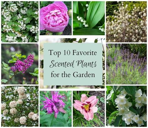 Favorite Top 10 Scented Plants Perfect In The Garden Scented Garden Flowers