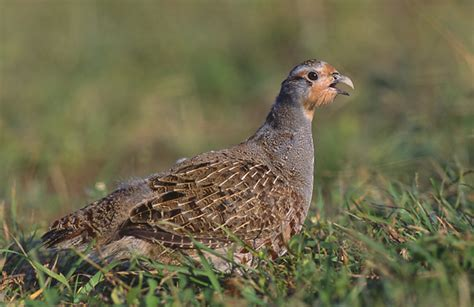 grey partridge wikipedia