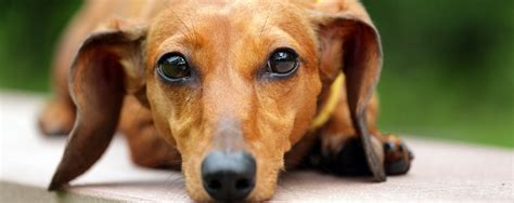 symptoms of hypothyroidism in dogs nhv pet products