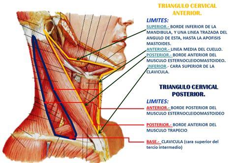 cadenas ganglionares cara y cuello triangulos del cuello triangulos del cuello