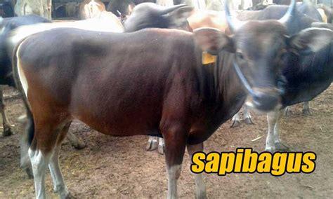 Bibit Sapi Terbaru harga sapi 2015 safari ternak jual hewan qurban sapi
