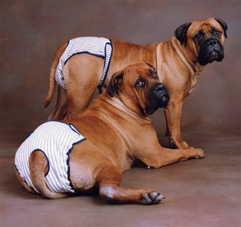 dogs in diapers diapers and belly bands for dogs