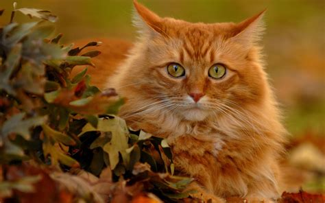 wallpaper cat autumn red cat in autumn leaves wallpapers and images