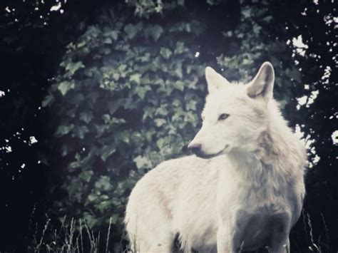 thepck white wolf wolf life wolf