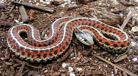 Garter Snake As Pet The Best Snake Pets 5 Top Choices For Snake Keepers
