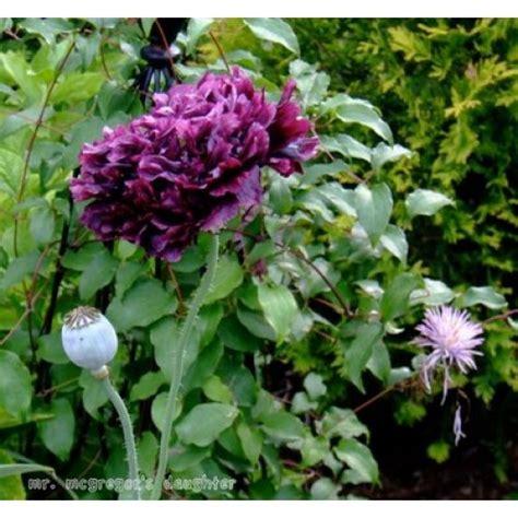 Bibit Bunga Of The Valley bibit bunga peony black