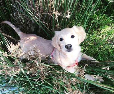 is there a miniature golden retriever is there really such a thing as a miniature golden retriever