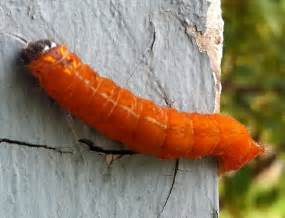 friendly or deadly a truly helpful caterpillar image gallery orange caterpillar