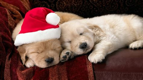 christmas wallpaper with dogs christmas puppy free download christmas dog hd