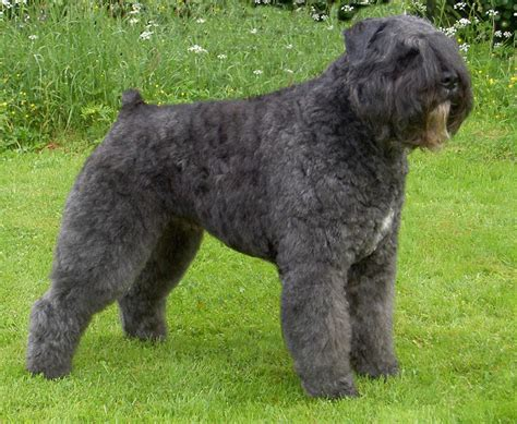 bouvier breed bouvier des flandres simple the free encyclopedia